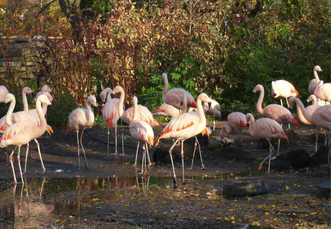 Flamingos at the Lincoln Park Zoo.